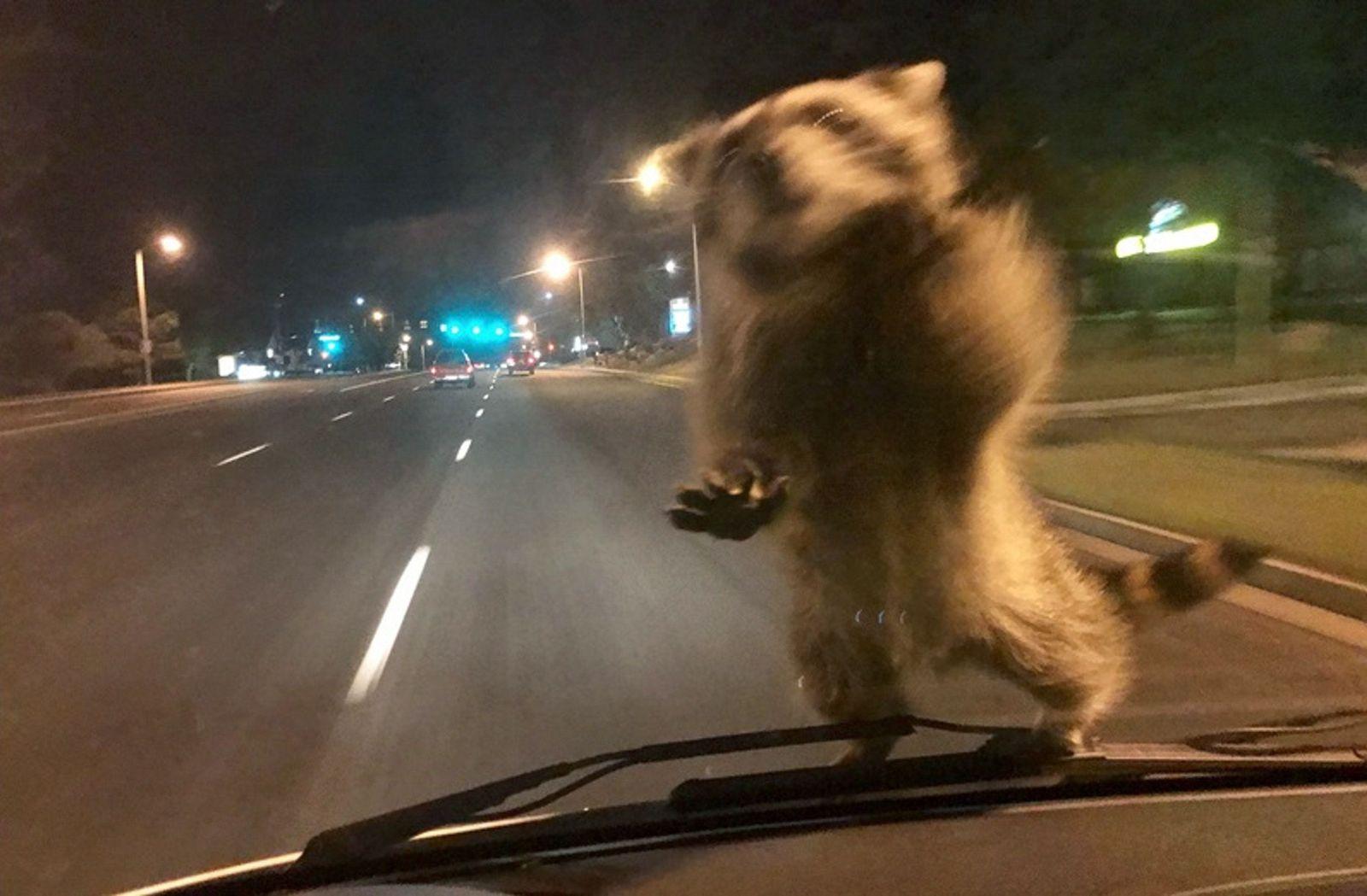 EINMALIGE VERWENDUNG APTOPIX Hitchhiking Raccoon