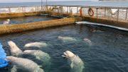 """Letzte Tiere aus """"Wal-Gefängnis"""" freigelassen"""