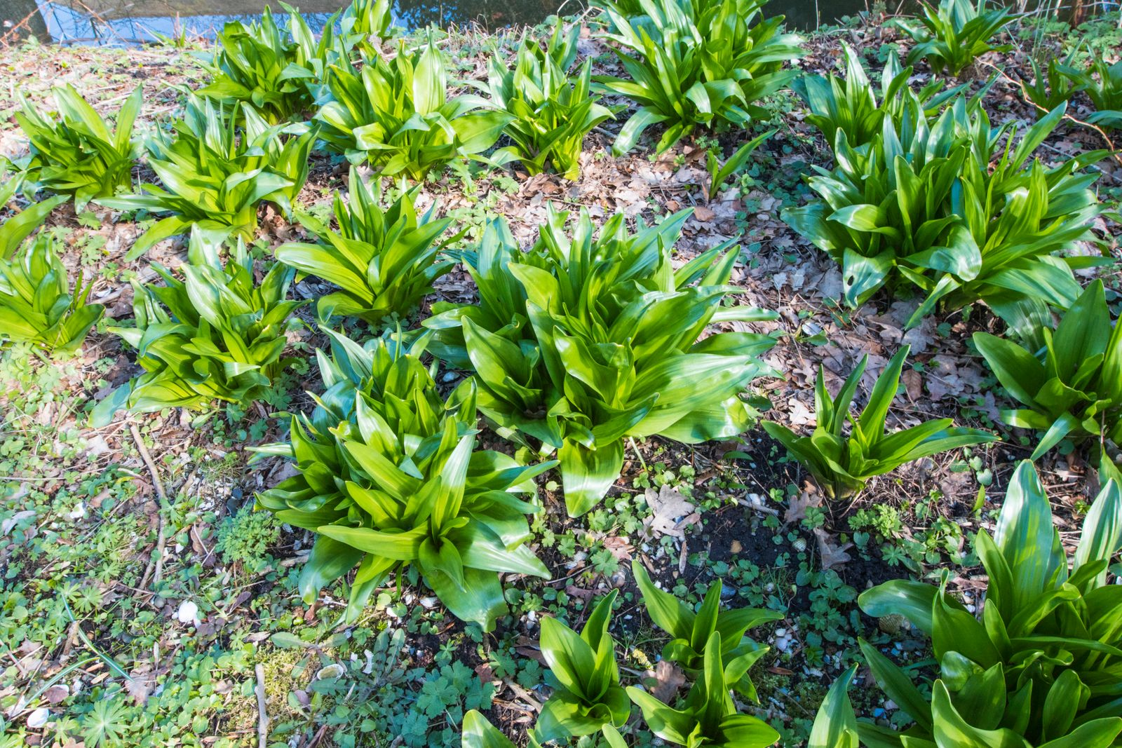 Byzantinische Herbstzeitlose (Colchicum byzantinum, Colchicum x byzantinum), in einem Garten, Niederlande, Friesland, S