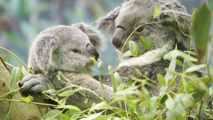 Koala, Wombat, Schnabeltier: Forscher fordern mehr Schutz für Tiere in Australien