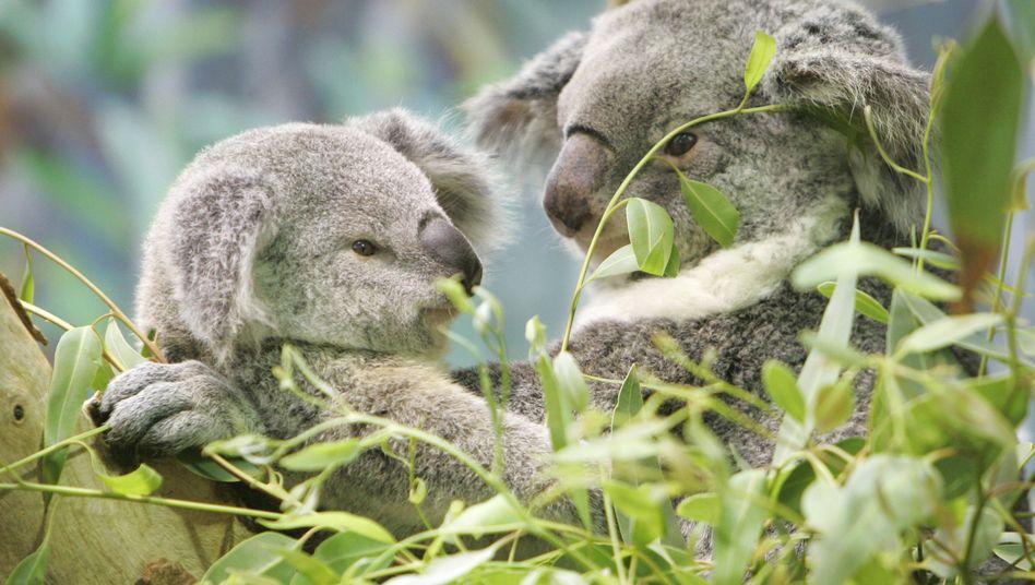 Koalas im Eukalyptusbaum (Archivbild): Die Pflanzen liefern Holz und werden zu Papier und Ölen verarbeitet