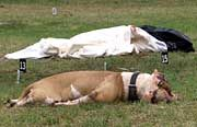 Einer der beiden erschossenen Kampfhunde liegt neben dem toten Volkan