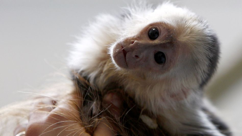 """Mally, Justin Bieber's pet monkey, is """"disoriented,"""" said the animal shelter caring for him."""