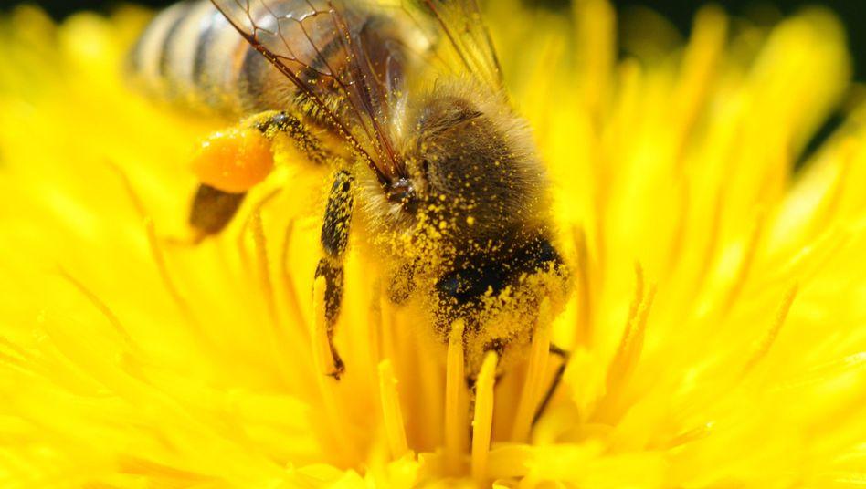 Honigbiene: Müdigkeit trübt die Erinnerung