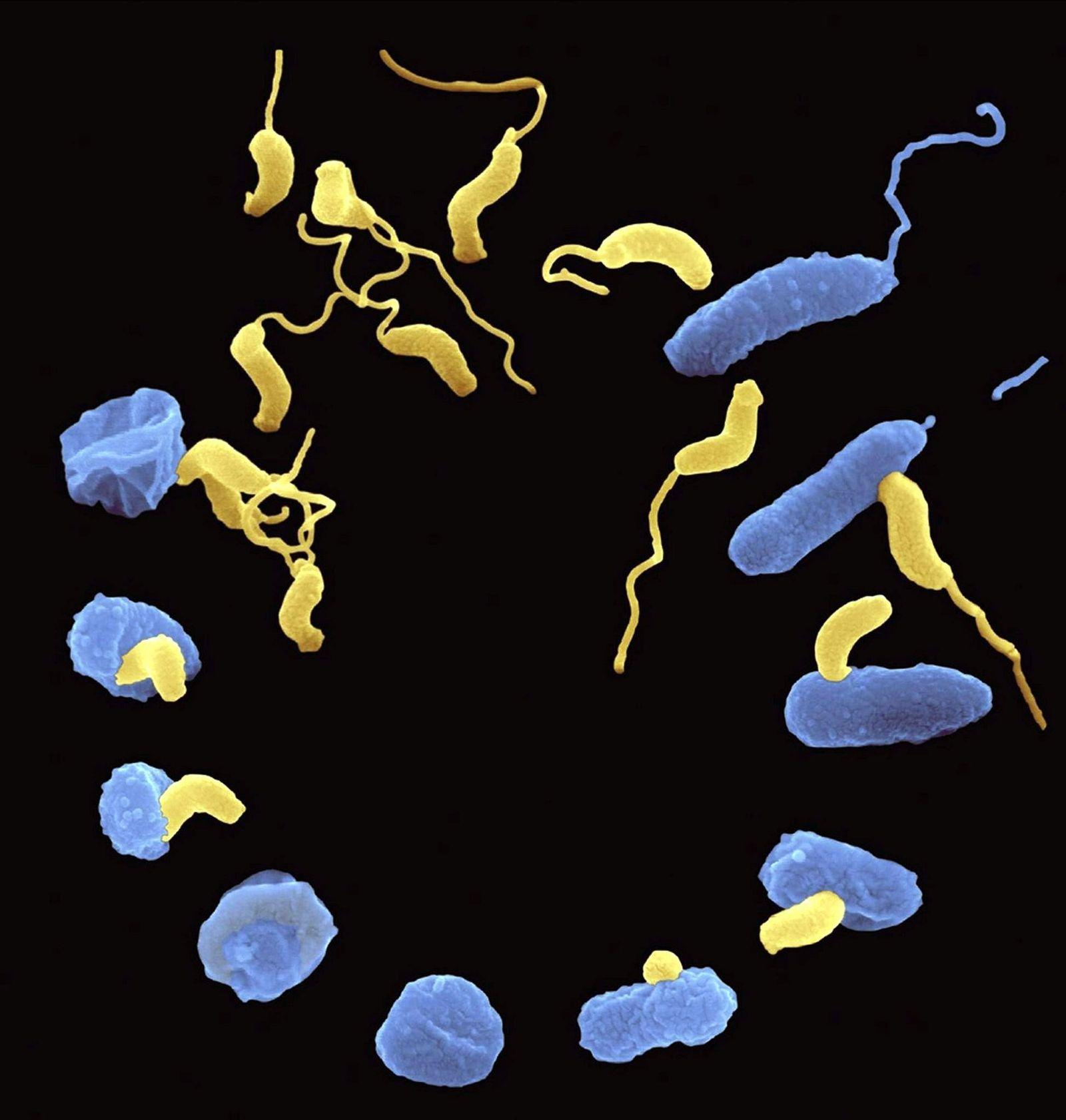 EINMALIGE VERWENDUNG Räuberische Bakterien