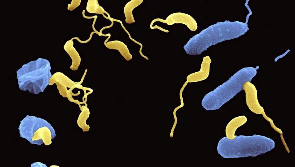 Um sich fortzupflanzen, befällt das Bakterium Bdellovibrio bacteriovorus (gelb) andere Bakterien (blau)