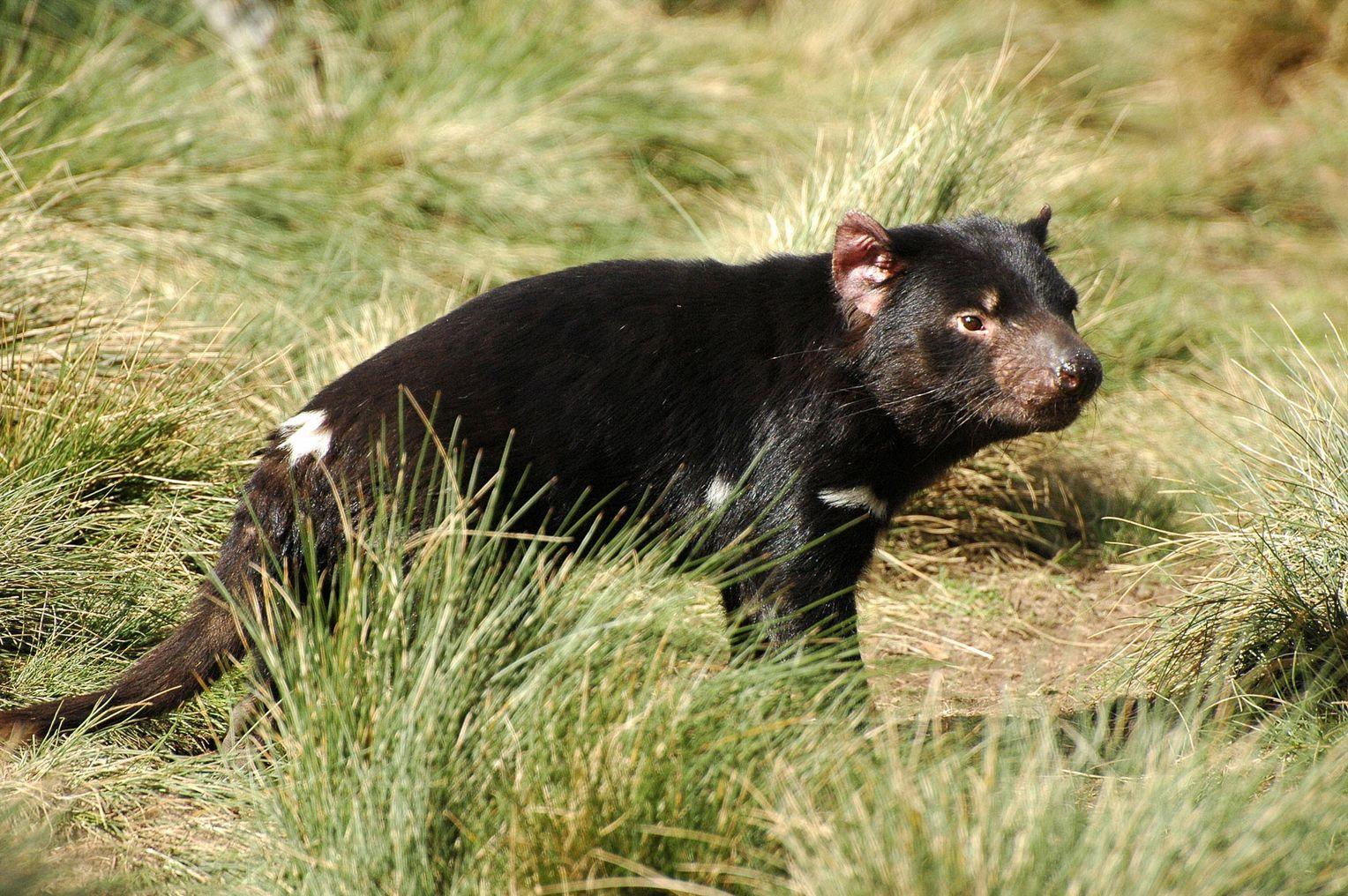 Krebserkrankung: Tasmanischer Teufel steht vor dem ...