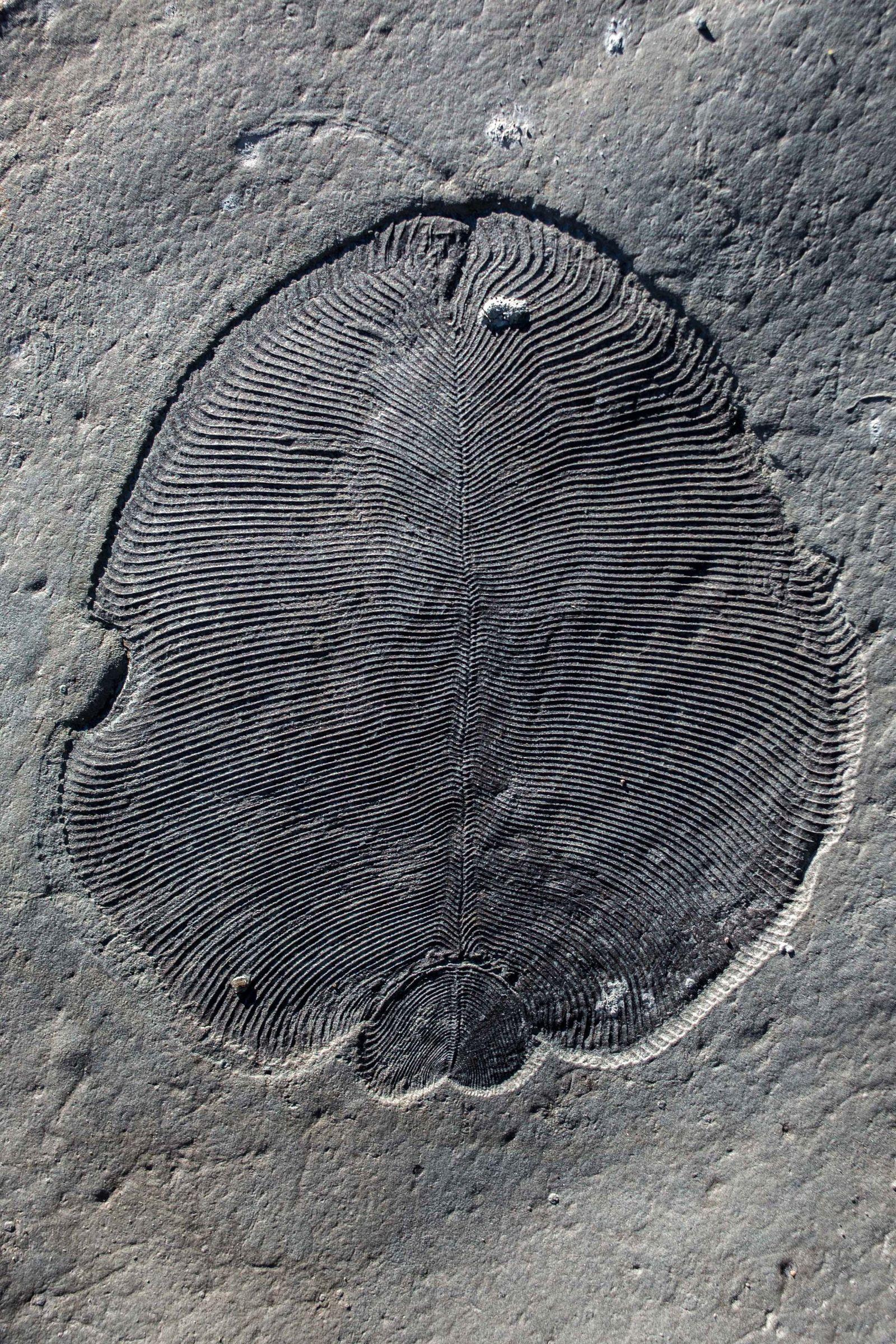 !!! SPERRFRIST 20.9.18 BIS 20UHR !!! EINMALIGE VERWENDUNG Dickinsonia/ Fossil
