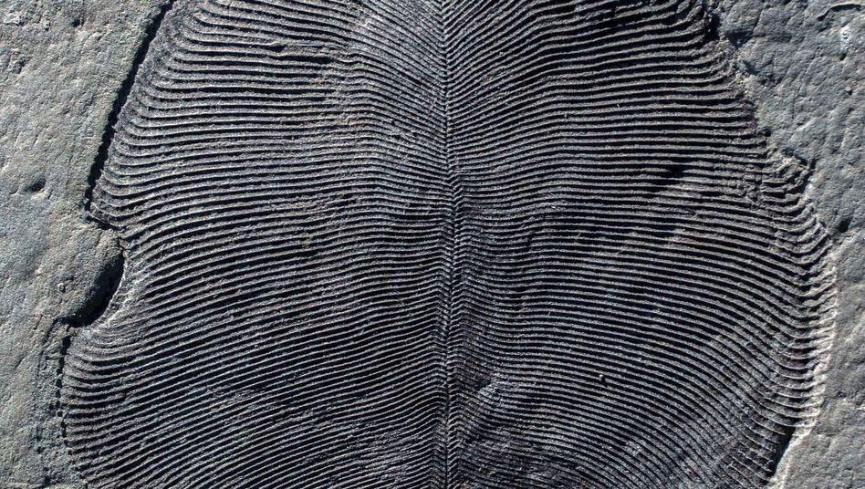 Ein in Russland gefundenes Fossil von Dickinsonia