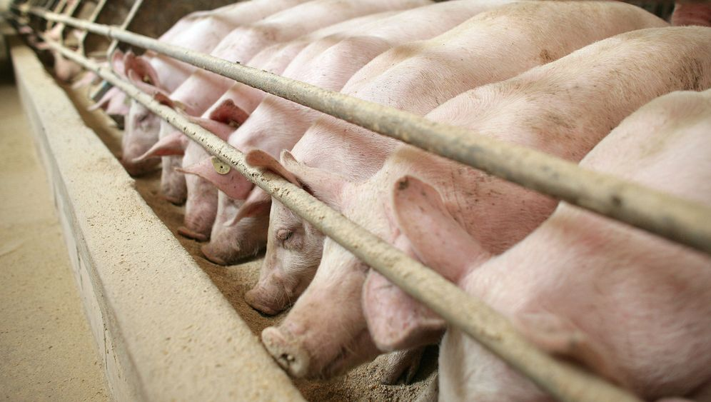 Photo Gallery: Cracking Down on Antibiotic Use at Danish Pig Farms