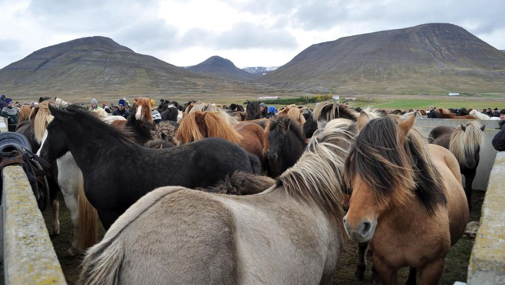Pferdeabtrieb in Island: Hinab im Galopp