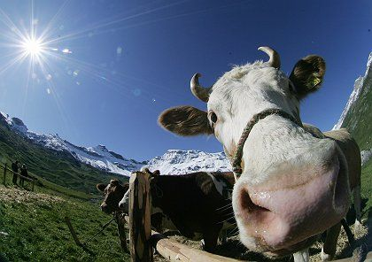 Cows are burping too much methane for the world's good.