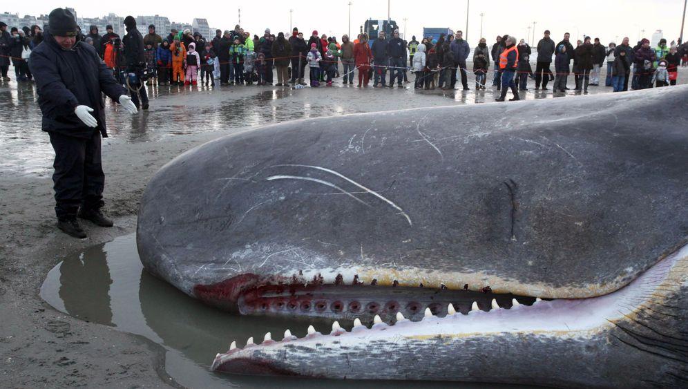 Gestrandeter Wal: Ende eines Giganten