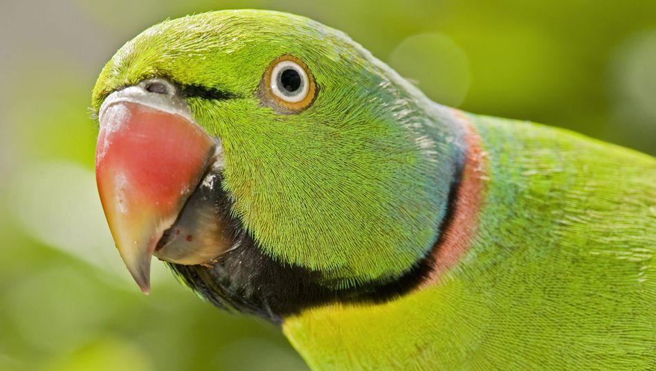 Mauritiussittich: Einst vom Aussterben bedroht, inzwischen noch gefährdet