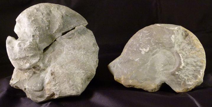 Weder wertvoll noch schön, aber von brachial-sentimentalem Reiz: Grob behauene Ammoniten (Ceratiten aus Thüringen, Trias, ca. 235-240 Mio. Jahre)