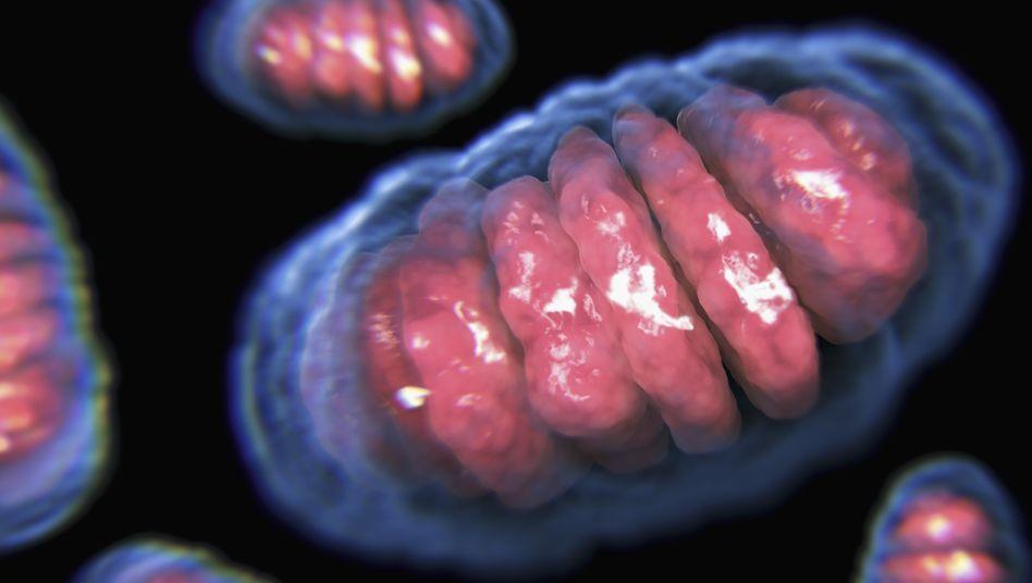 Mitochondrien: Zellkraftwerke mit eigenem kleinen Genom