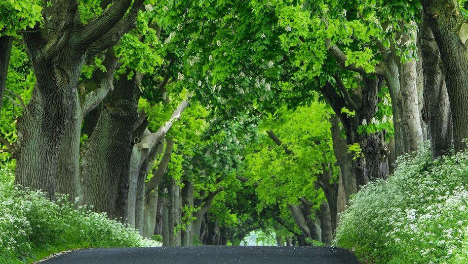 Eichen-und-Kastanien-Allee auf Rügen:Bäume filtern den Feinstaub aus der Luft, spenden Schatten und schützen vor Bodenerosion