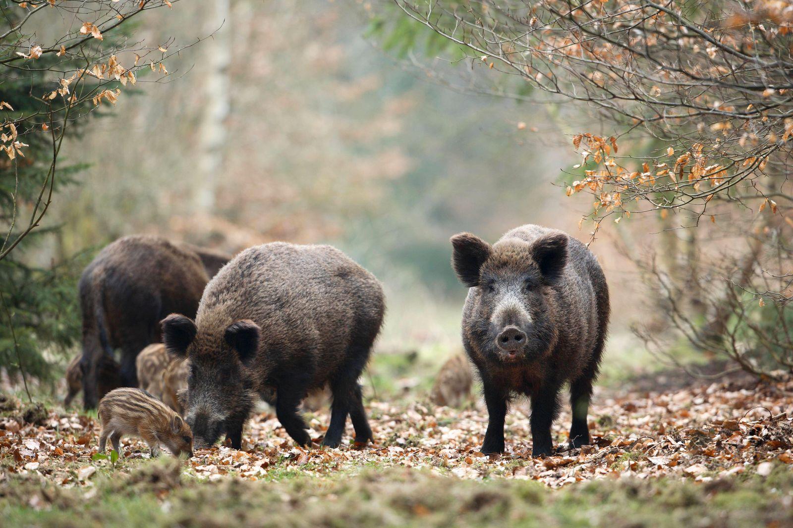 Wildschweine (Sus scrofa) mit Frischlingen im Wald, Deutschland, Europa *** Wild boars Sus scrofa with fresh boars in t