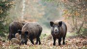 Wie gefährlich ist die Schweinepest?