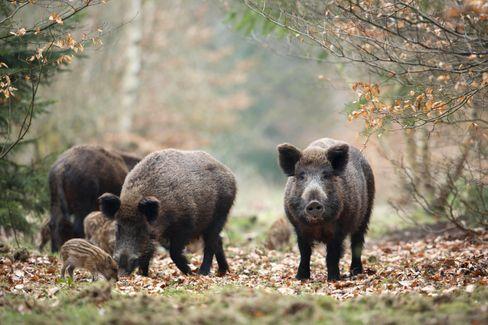 Wildschweine in einem deutschen Wald