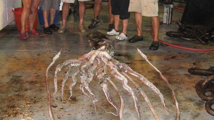 Kalmare: Mysteriöse Tiefseewesen