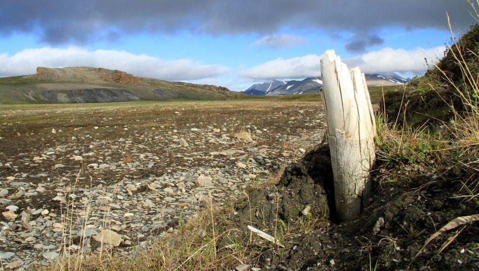 Ein Wollmammut-Stoßzahn taucht aus dem Permafrost auf (Handout der Zeitschrift »Nature«)