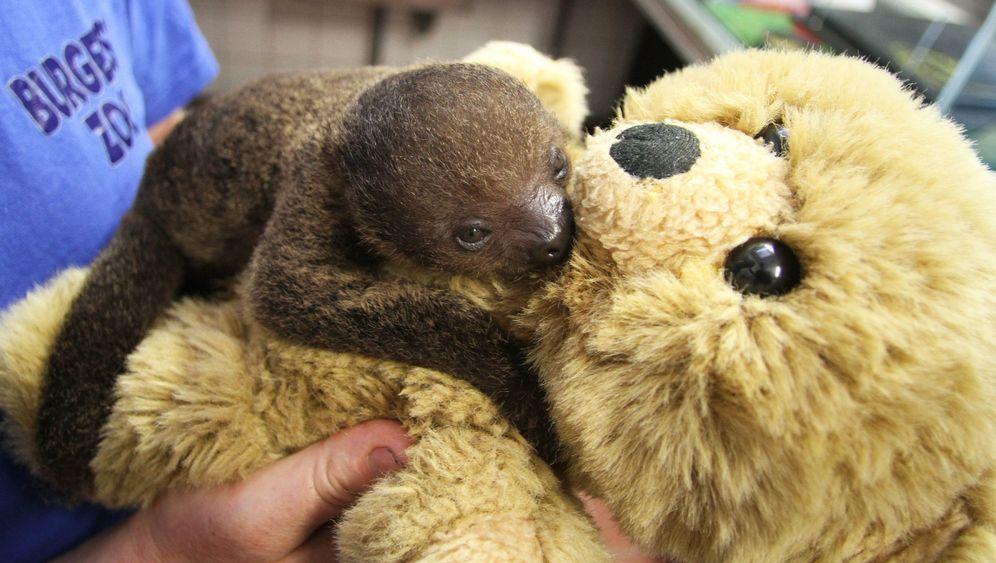 Photo Gallery: Baby Sloth Gets Teddy Bear Surrogate