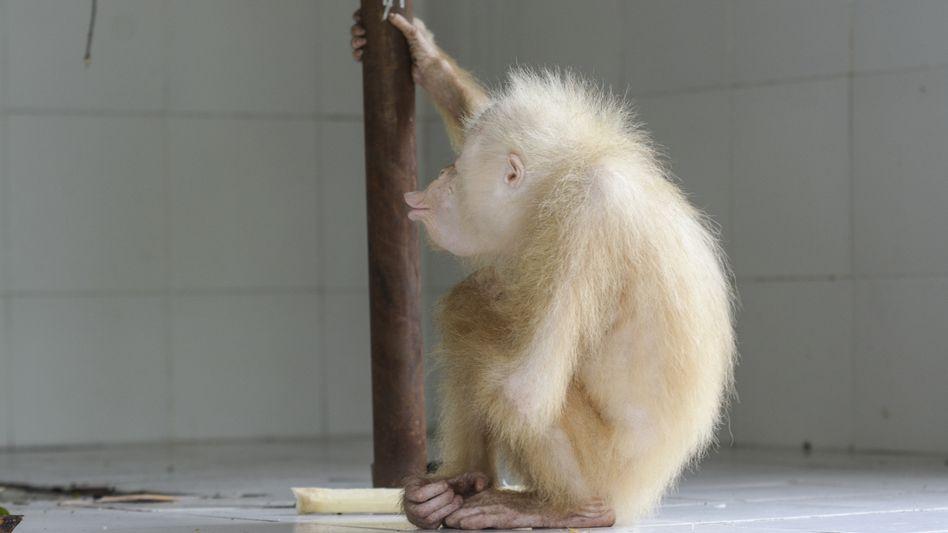 Seltener Albino-Orang-Utan