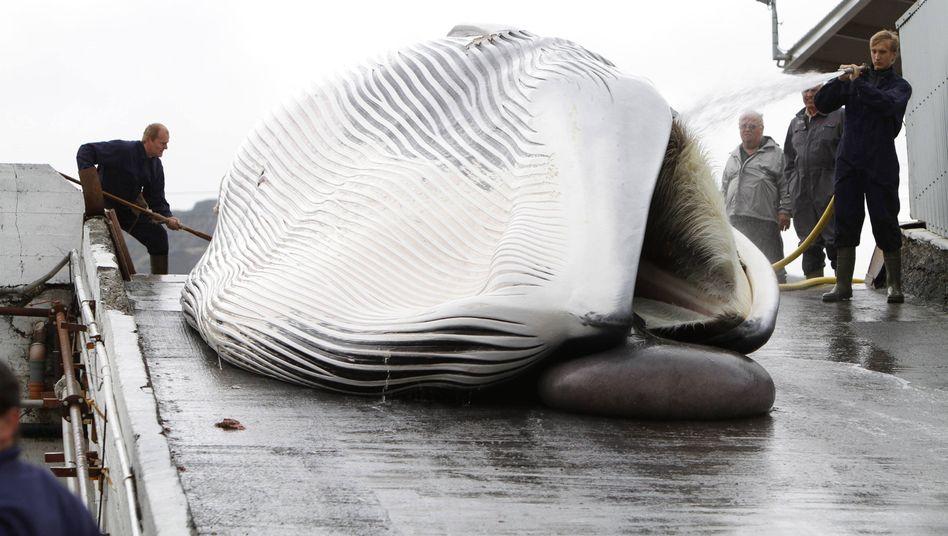 Gefangener Wal in Hvalfjordur (Island): Experten fürchten Dominoeffekt