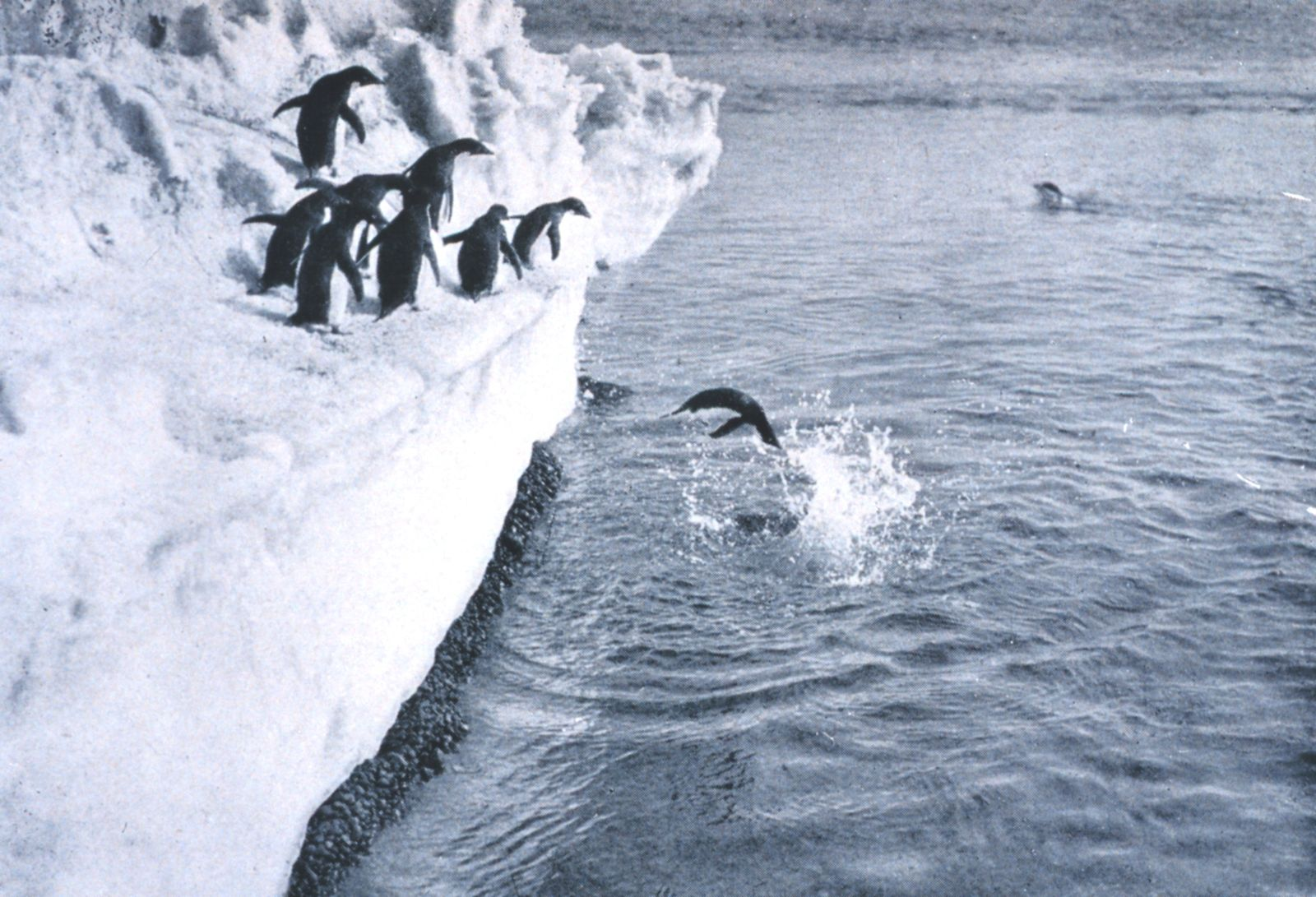 Pinguine/ Scott Expedition/ Levick