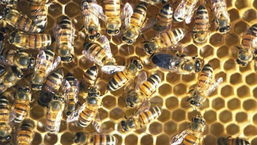 Kapbienen befruchten sich selbst