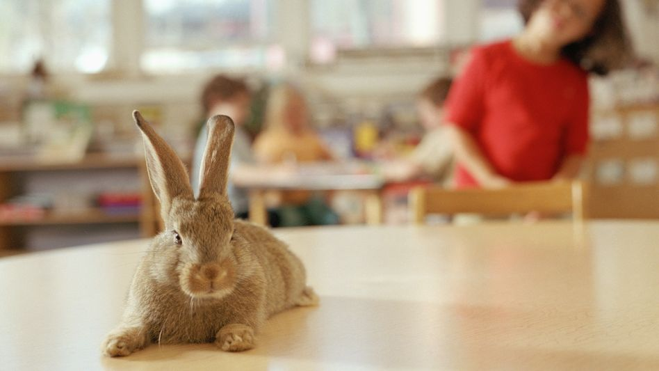 Vorsicht! Eine Schule kann für ein Kaninchen ein gefährlicher Ort sein (Symbolfoto)