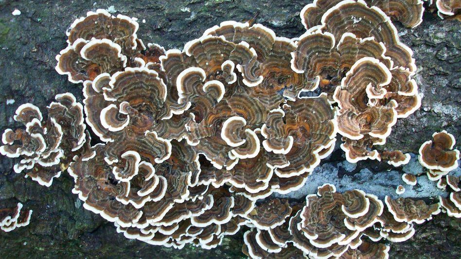 Trametes versicolor: Weißfäulepilze können Lignin abbauen