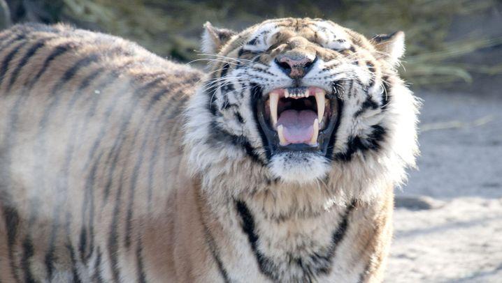 """Tiger-Attacke im Kölner Zoo: """"Eine Betäubung kam nicht in Frage"""""""
