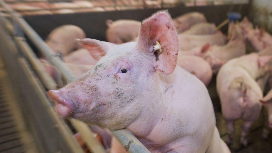 Hausschwein in Mastbetrieb (Symbolbild)
