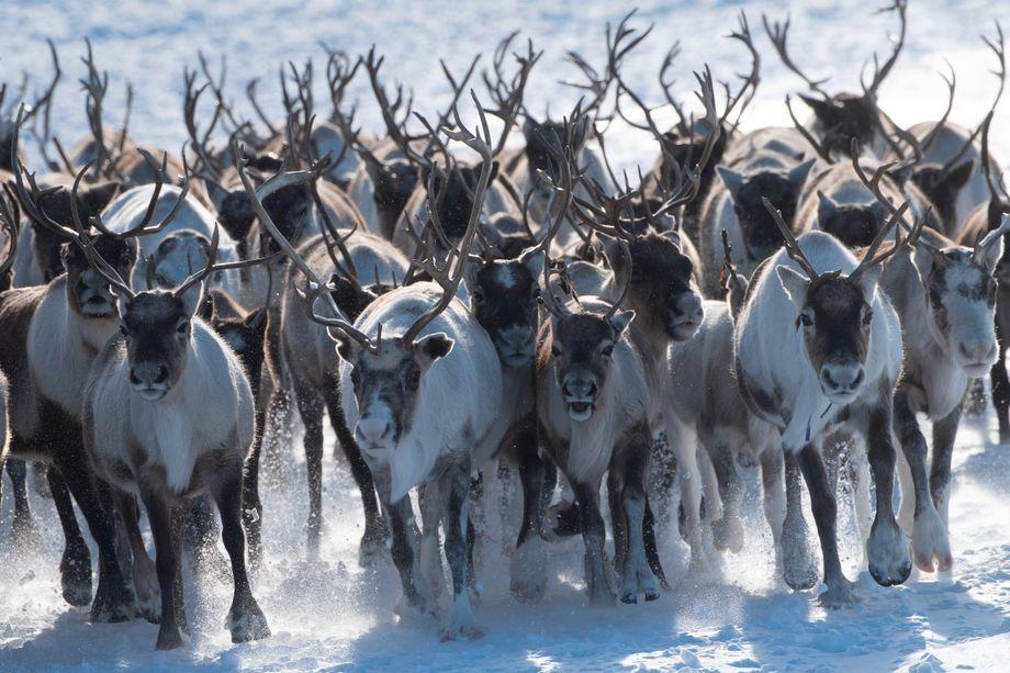 Wittert die Herde Gefahr, beginnt sie zu rotieren, um sich und die Jungtiere vor Angreifern zu schützen.