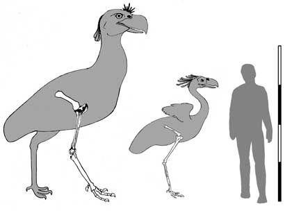Riesenvogel im Vergleich: Die Phorurhacidae wurden bis zu drei Meter hoch