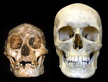 Zwergenmensch und moderner Mensch: Schädel im Vergleich