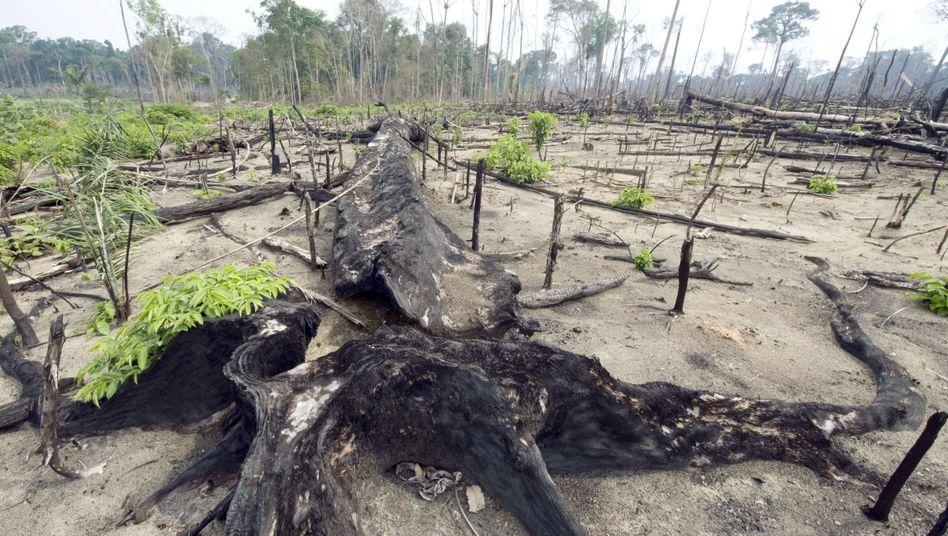Illegale Brandrodung in Brasilien: Biosprit-Anbauflächen verdrängen Viehzüchter