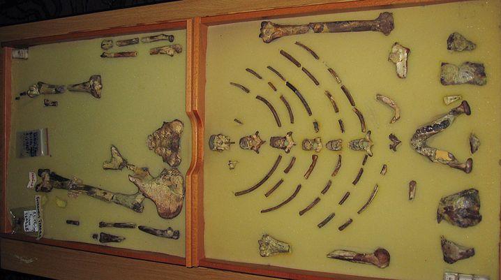 """Was von """"Lucy"""" blieb: 46 Knochen und Fragmente sind im Feld der Paläoanthropologie eine ganze Menge"""