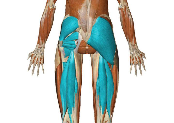 Hintere Gesäß- und Oberschenkelmuskeln (zur Großansicht bitte klicken)