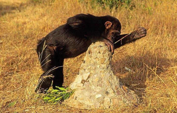 Termiten sind köstlich, aber schwierig zu kriegen. Der Affe steckt ein Stöckchen in den Bau und zieht die darauf laufenden Termiten heraus.