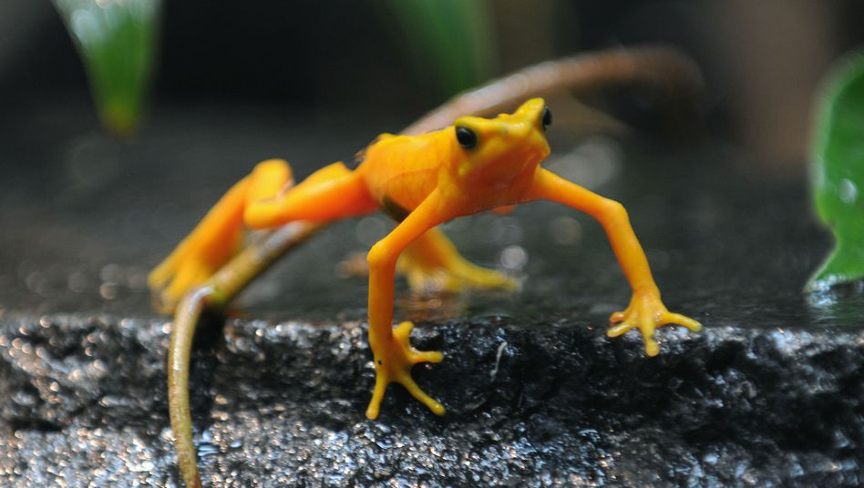 Panama-Stummelfußfrosch: Durch eingeschleppten Pilz fast ausgerottet