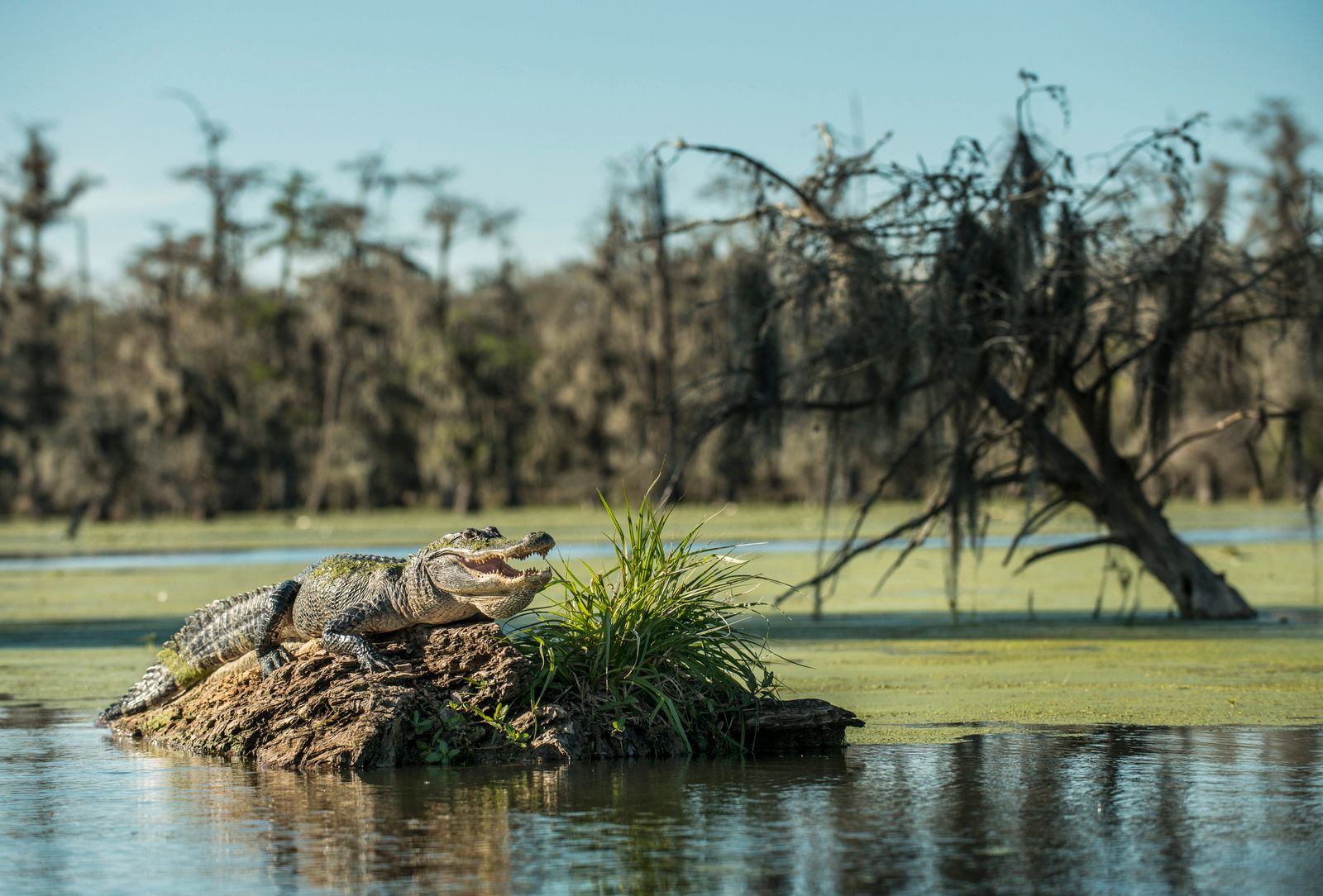 Alligator on driftwood in Lake Martin at forest