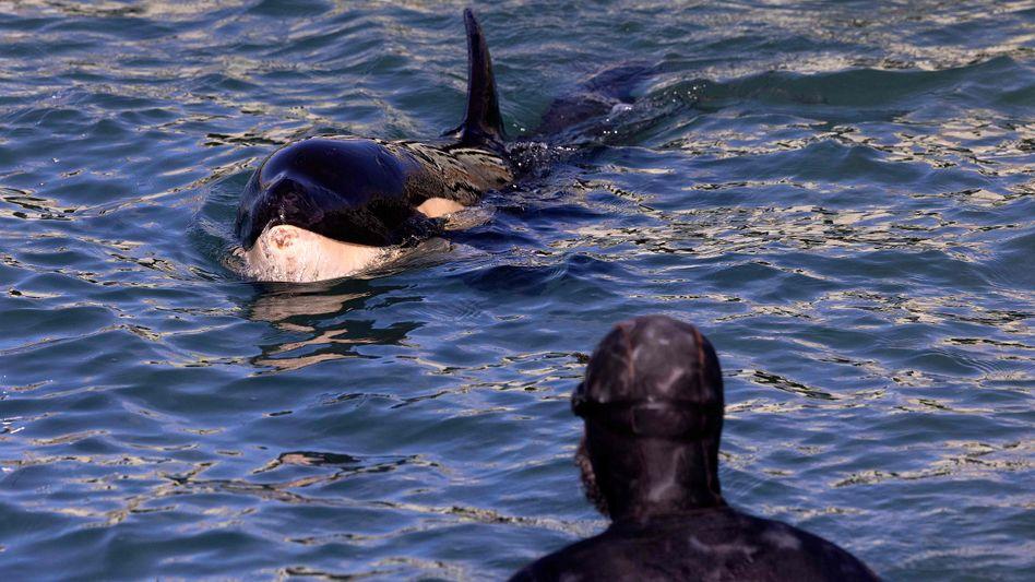 Orca-Baby Toa: Von seiner Herde getrennt