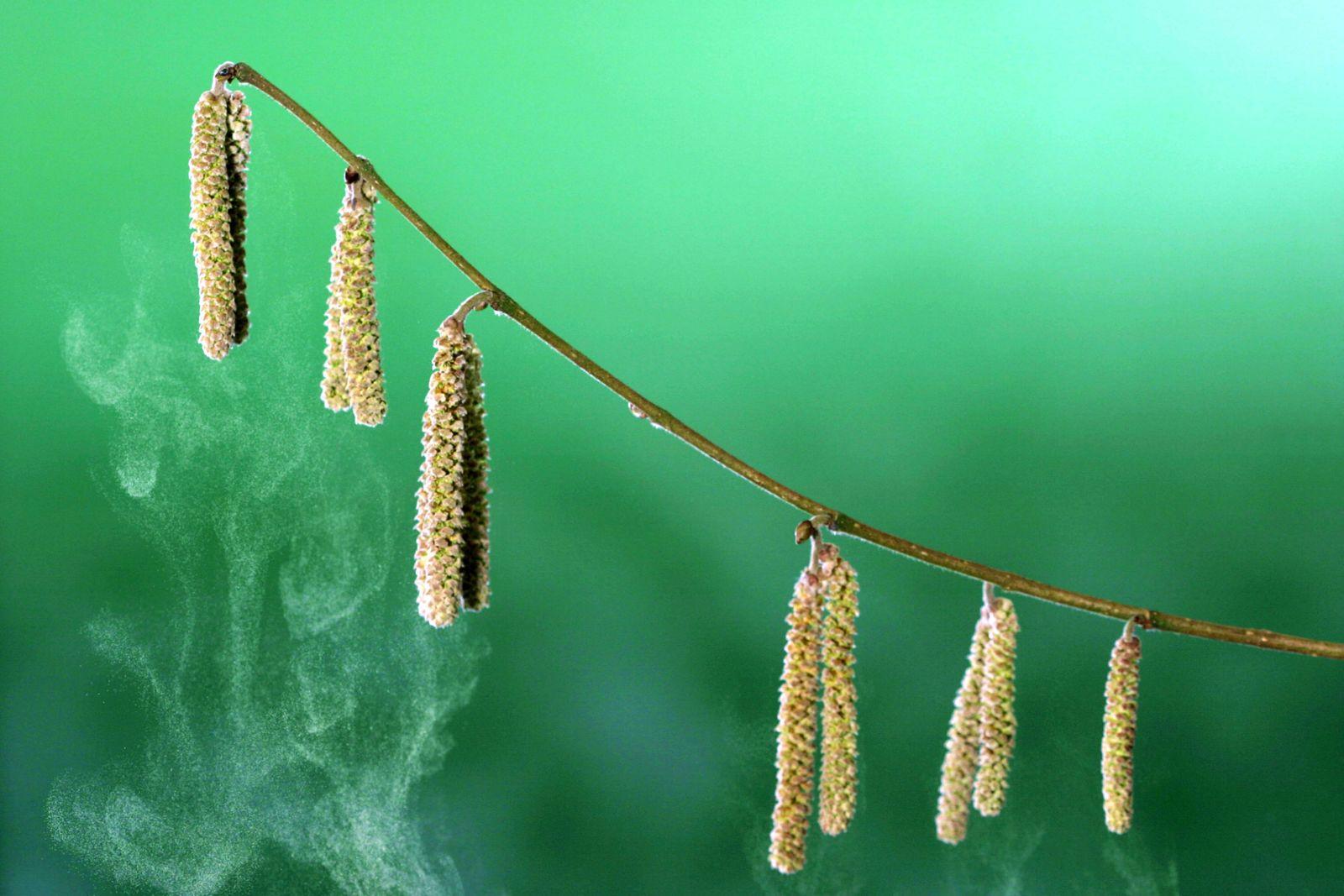 Gewoehnliche Haselnuss, Hasel, Haselstrauch, Corylus avellana, common hazel