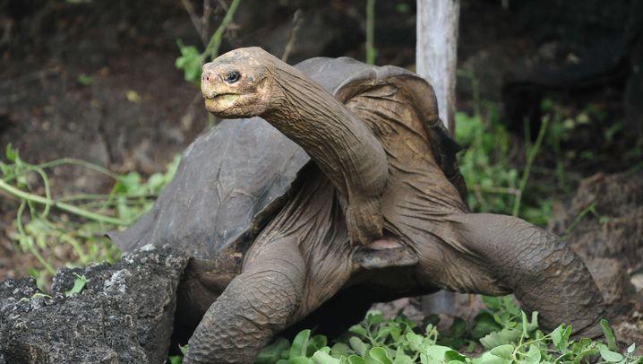 """Galapagos-Riesenschildkröte: Der einbalsamierte """"einsame George"""""""