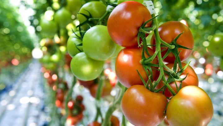 Tomate Sunviva: Revolutionäres Gemüse