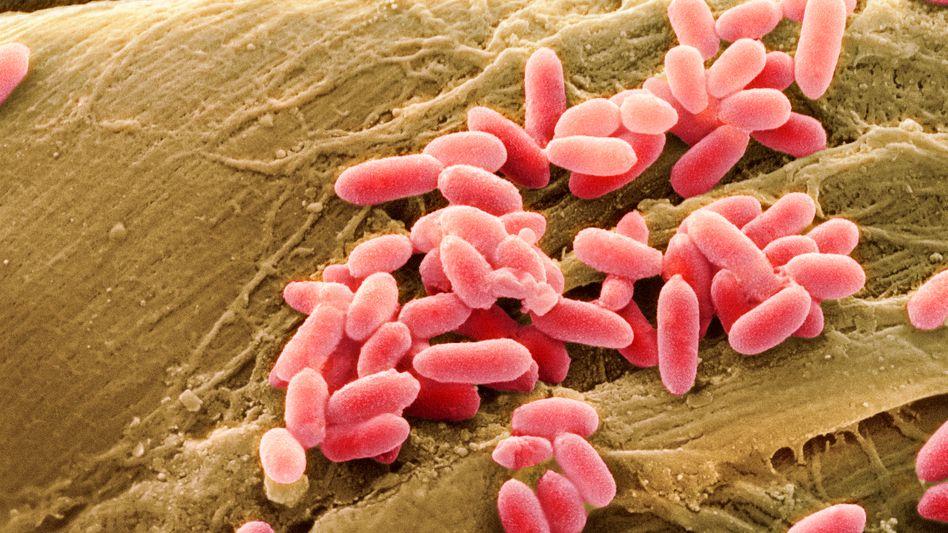 Bakterienkolonie: Besonders im Dickdarm reichlich vertreten