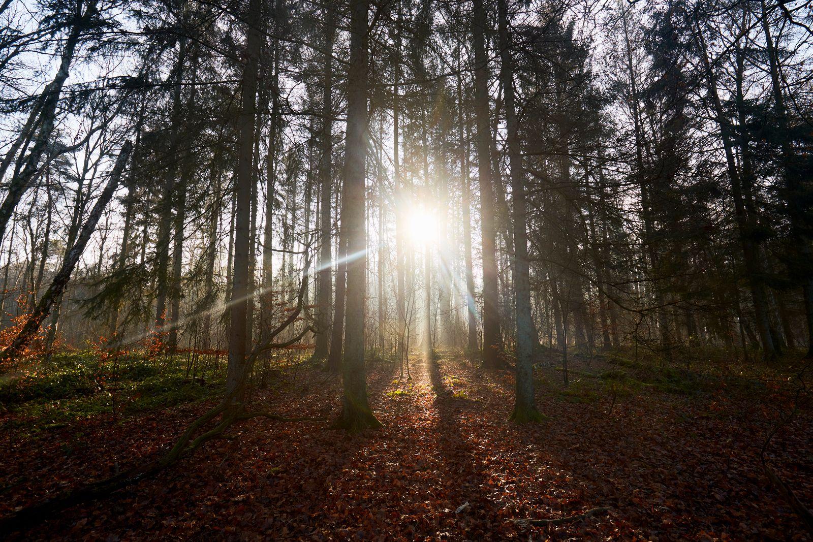 Mystic coniferous forest against sunlight